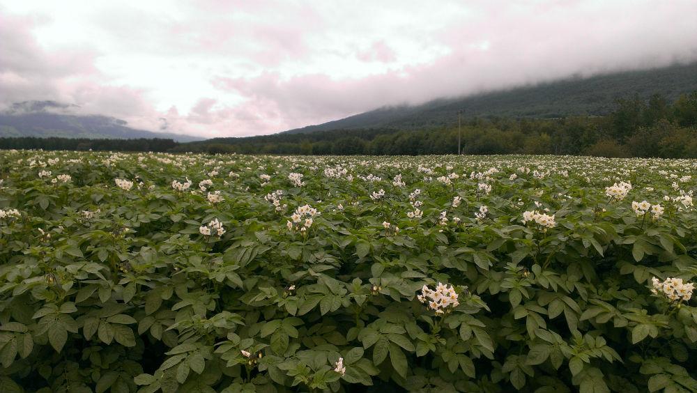Moderne innhøsting av mandelpoteter